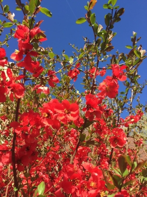 quince-in-bloom.jpg